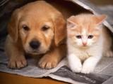 成都猫舍繁育稀有金加白色宠物猫 银点色矮脚