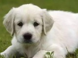 十堰哈士奇幼犬狗狗出售 包纯种 包健康