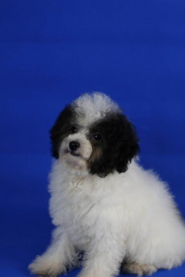 出售泰迪狗狗玩具贵宾泰迪幼犬活体泰迪犬 宠物狗狗