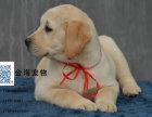 纯种拉布拉多幼犬疫苗驱虫均已做齐神犬小七同款
