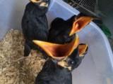 出售越南鹩哥 和尚鹦鹉 亚历山大鹦鹉 金太阳鹦鹉 灰鹦鹉