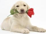 成都优良血统 纯种拉布拉多犬 健康 活泼 已疫苗驱虫
