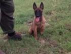 温州适合养殖马犬吗?温州马犬幼犬价格 成年马犬训练方法