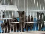 自家繁育蓝猫幼崽。成母