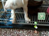 宠物店和狗市里的牛头梗可以买吗 健康的多少钱一只