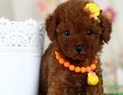 本地正规犬场一茶杯,玩具各色泰迪犬一签协议
