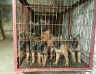 出售纯种马犬双血统杜高犬卡斯罗支持货到付款