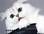 萌萌的金吉拉猫咪圆圆的包子脸活泼健康