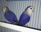 漂亮鹦鹉紫罗兰