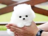 中国专业繁殖双血统博美犬犬舍 可以上门挑选