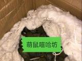 南昌本地出售魔王奶鼠,体质优良!都是健康鼠鼠,可自提