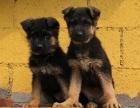西安出售3个月的德牧犬(公母均有)包犬瘟细小-签协议