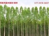 重庆苗木基地 重庆周边苗木基地 重庆桉树