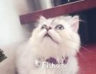 性格超好家养纯种金吉拉猫找新家