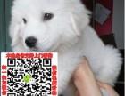 石家庄大白熊犬领养赠养价格 巨型大白熊宠物狗转让买卖交易