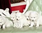 虹口区哪有萨摩耶犬卖 虹口区萨摩耶犬价格 萨摩耶犬多少钱