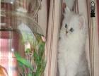 纯种宠物猫咪/赛级金吉拉幼猫/DD/MM/带CFA