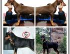 本地哪里有狗场 杜宾犬价格 杜宾图片