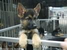 德国牧羊犬繁育基地直销 纯种德国牧羊犬 全国最低价
