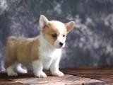 扬州里有柯基出售 扬州三色柯基价格 里卖健康的双色柯基犬