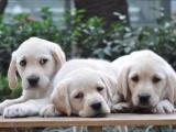 桂林 出售拉布拉多犬,疫苗驱虫已做,可