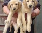 厦门哪有阿富汗猎犬卖 厦门阿富汗猎犬价格 阿富汗猎犬多少钱