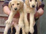 石家庄哪有阿富汗猎犬卖 阿富汗猎犬价格 阿富汗猎犬多少钱