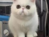 广东广州黄白加菲猫出售