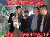 纯种野兔养殖 杂交野兔价格