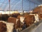200斤小牛价格