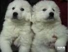 精品赛级大白熊 专业繁殖 幼犬出售巨型大白熊宠物狗
