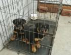 罗威纳犬多少钱一只 纯种罗威纳犬 罗威纳犬图片