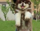 巨型熊版阿拉斯加雪橇犬幼犬黑/红/灰色桃脸 宠物狗