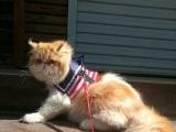 自家养的纯种加菲猫