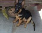 高品质德国牧羊犬幼犬,纯种健康保障可上门挑选