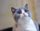 美国短毛猫/虎斑猫/纹路清晰/美短/有绿眼有视频