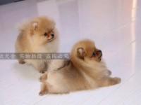 可爱小俊介博美犬 深圳买博美犬首选 纯种哈伯利亚博美犬