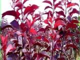 紫叶矮樱价格