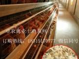 四川香鸡苗价格 贵州香鸡苗批发市场 香鸡苗多少钱一只