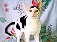 柯尼斯卷毛猫 柯尼斯卷毛 成公一岁半 会配猫 净梵花