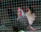 出售观赏鸡种蛋 黑银鸡种蛋 小鸡