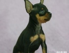 重庆出售小鹿犬的重庆哪里出售小鹿犬 重庆小鹿犬多少钱一只