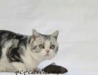 出售自家繁殖标准虎斑猫1500 无病无藓