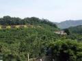 红色生态游前南峪大樱桃采摘