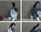 本地家养 银渐层苏格兰折耳猫 蓝猫 欧洲血统 特价