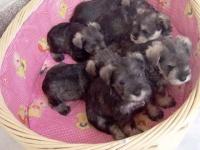 重庆出售德国雪纳瑞犬 超萌黑银雪纳瑞小狗待售 疫苗驱虫作齐