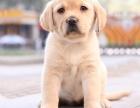 榛果犬业优质拉布拉多金毛多窝现货出售 欢迎现场挑选