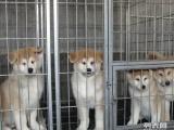 出售纯种秋田 秋田幼犬 终身质保,2到4个月幼犬