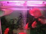25左右的大鹦鹉鱼