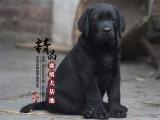 山东青岛哪里卖纯种拉布拉多幼犬